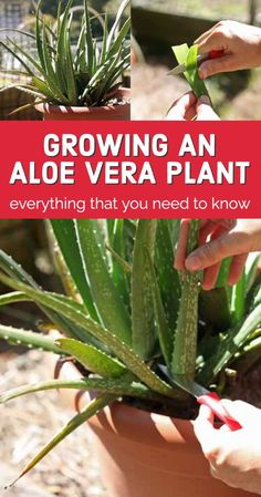 Every house should have an aloe vera plant if you ask me. There is no other plant that will give you so much for so little care! In this post, we'll talk about everything that you need to know about growing aloe vera… Where you can get an aloe vera plant, how to plant aloe vera, care for the plant, how to harvest, and how to use it. Growing Herbs In Pots, Growing Aloe Vera, Herb Gardening, Wild Edibles, Backyard Farming, Herbs Indoors, Plant Care, Farm Life, Compost