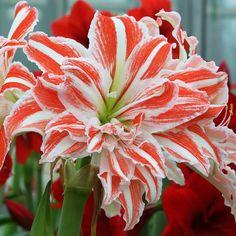 Amaryllis Dancing Queen 2426 1 flower bulb >>> For more information, visit image link. Amaryllis Plant, Amaryllis Bulbs, Exotic Plants, Exotic Flowers, Beautiful Flowers, Amarillis, Flower Landscape, Landscape Lens, Landscape Design