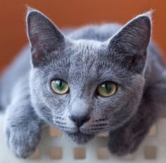 Russian Blue (Archangel Blue) by Dmitry Zinoviev on Russian BlueRussian Blue CatRussian Blue CatAre Russian Blue Cats Hypoallergenic Chartreux Cat, Nebelung, Russian Cat, Russian Blue, Grey Cats, Blue Cats, Cool Cats, I Love Cats, Kittens Cutest
