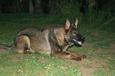 Black Sable German Shepherd | German Shepherds Reference : DDR German Shepherds : Lord Vom ...