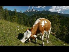 Almabtrieb vom Hochleger zum Niederleger im Rofan - YouTube
