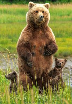 Denali National Park, Alaska - Grizzly Bear and Cubs (Art Prints, Wood & Metal Signs, Canvas, Tote B Animals And Pets, Baby Animals, Cute Animals, Wild Animals, Baby Pandas, Mundo Animal, My Animal, Regard Animal, Love Bear