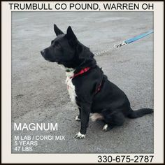 Warren, OHIO...SUPER URGENT!!!! PLEASE RESCUE THIS SWEET BOY MAGNUM (owner ill)  was left at the pound because his owner is too sick to care for him.  He is 5 years old, and weighs 47 lbs.  Such a super sweet dog!***Must be 18 years of age or older to adopt***