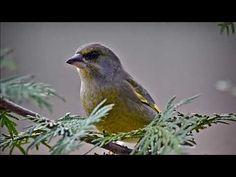 Viherpeippo Bird, Animals, Animales, Animaux, Birds, Animal, Animais