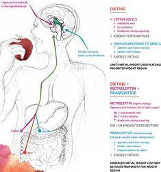 Appetite regulation and hormones