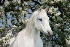 #arabian #horse