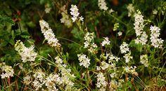 delphinium leucophaeum--------------white rock larkspur---------willamette valley-----------threatened