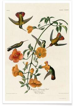 Mangrove Hummingbird en Affiche premium par Vintage Art Archive | JUNIQE