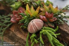 Watch my YouTube video,Succulents in Driftwood(2:51). It's surprisingly easy to make a succulent driftwoodplanterthat looks professionally designed. Each piece of driftwood has its own personality and suggests a different flow of succulents. The plants resemble undersea flora, and the wood hints at something you'd see in a forest. The two combine to make a special, …