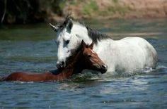 Champ the grey stallion rescuing the little filly!