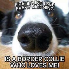 Yup, that's exactly what I open my eyes to each day ♥♡♥  #dogs #pets #BorderCollies