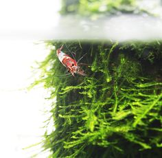 https://flic.kr/p/bKBPUi | rili shrimp near surface