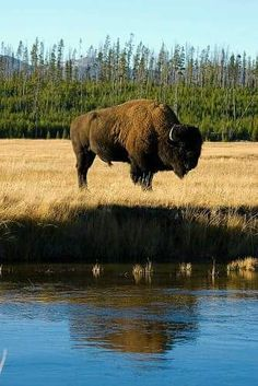 Bison Reflection, Yellowstone National Park, WY We seen thousands of Buffalo when we were there.It was amazing! by lolita Buffalo Animal, Buffalo Art, American Bison, Native American Art, Wildlife Photography, Animal Photography, Yellowstone National Park, National Parks, Le Bison