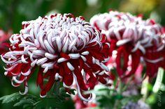 "Chrysanthemum ""Lilli Gallon"""