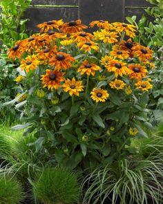 Rudbeckia Summerina Yellow
