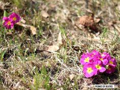 Esikoita etelärinteessä Peonies, Flora, Plants, Plant, Planets