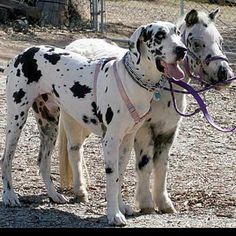 Is this a mini me:?? Shared by shopforpaws.com #dogs #horses
