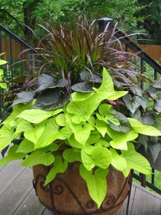 Purple fountain grass, blackie and margarita sweet potatoe vine  cass- the potatoe vine will give you a nice drape over the edge of the pot & the fountain grass will give you height & texture