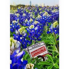 #‎TBT‬ Hope y'all are enjoying the bluebonnets as much as Carty is! ;) ‪#‎bluebonnets‬ ‪#‎texasliving‬ ‪#‎springtime‬