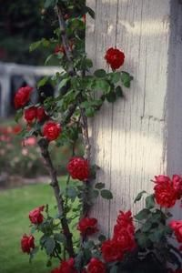 Fertilizing roses encourages big, healthy blooms.