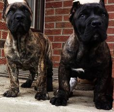 Trendy Dogs And Puppies Breeds Cane Corso 26 Ideas Cane Corso Mastiff, Cane Corso Puppies, Cane Corso Dog, Mastiff Breeds, Mastiff Dogs, Puppy Breeds, Big Dogs, Cute Dogs, Dogs And Puppies