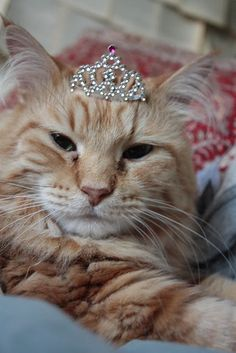 Orange Cats!! They are the best!! I LOVE orange cats.. and orange cats wearing crowns.. wow!