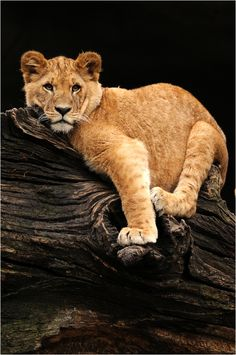 Lion Cub by Svenimal