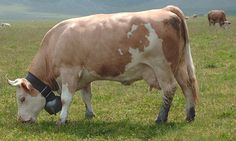 Simmental cattle - Wikipedia, the free encyclopedia