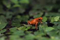 Photograph Phyllobates spec. by Volker Müller on 500px