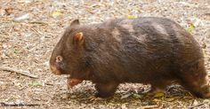 Alice the Wombat 2 by Okavanga