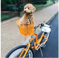 The Pet Anthology | Renzi the Mini Golden-doodle #goldendoodle #mini