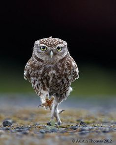 Life lessons from Owls: Be adaptable. You may be able to fly, but make sure you can walk as well.
