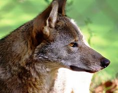 RETURN OF THE RED WOLF: RWSSP of the month—Endangered Wolf Center (Photo credit: Ashley Brown)