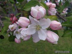 Apfel-Blüte  #garten #gardening #apple #flower #spring