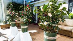 Shirley Bovshow talks about all the varieties of Camellia Plants available to grow. Camellia Plant, Home And Family Hallmark, California Garden, Winter Rose, Plant Guide, Flower Lights, Family Garden, Diy Garden Decor, Dream Garden