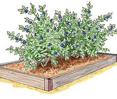 Growing Berries and Asparagus in Raised Beds Article featuring our Blueberry Bed