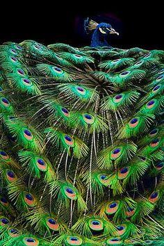 peacock >> http://amykinz97.tumblr.com/ >> www.troubleddthoughts.tumblr.com/ >> https://instagram.com/amykinz97/ >> http://super-duper-cutie.tumblr.com/
