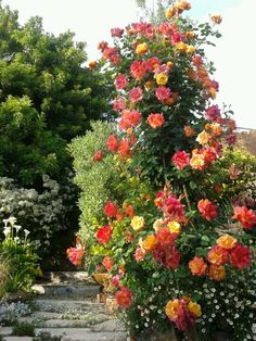 This modern climbing rose is an orange blend, 'Joseph's Coat,' and is ...