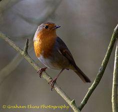 European Robin, Erithacus rubecula.