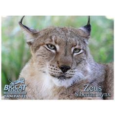 Post Card - Siberian Lynx Zeus