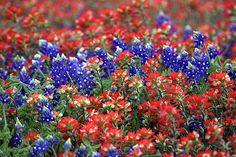 bluebonnets and indian paintbrushes-- for my Texas sleeve