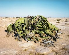 Artist Rachel Sussman Photographs the Oldest Living Things in the World before They Vanish
