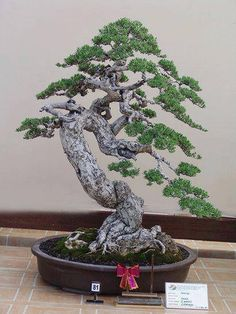 Bonsai It's the fundamental magic of Japanese and Chinese gardening. The illusion of large and small views inverted.