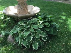 Hostas are the July Plant of the Month over at Glacier View Landscape in Longmont, Colorado. Glacier View Landscape and Design services the Boulder region.