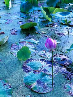The sacred lotus, Nelumbo nucifera. It is native to tropical Asia, where it has great cultural significance. A 1300-year-old seed of N. nucifera was once successfully germinated.
