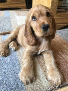 Cocker Dog, Golden Cocker Spaniel, Cocker Spaniel Puppies, Puppies And Kitties, Cute Puppies, Pet Dogs, Doggies, Animals And Pets, Baby Animals