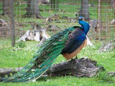 Vorlage #babasgraphie #Exlibris #peacock # handwritten #calligraphy #kalligraphie #handgeschrieben