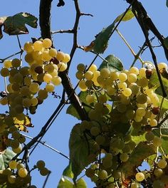 WHITE RHONES - OH YES I DID  The story behind Viognier and its siblings