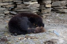 Mu Gompa's monastery dog taking a nap, and keeping a wakeful eye at the same time