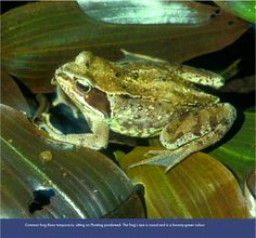 Another common uk frog